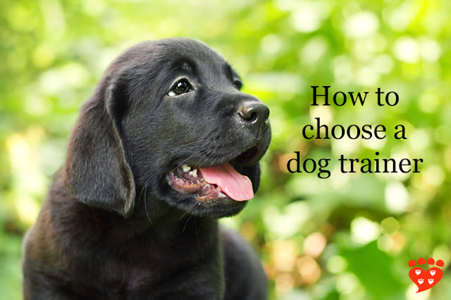 How to choose a dog trainer. The qualifications to look for and other important things to know, whether you are looking for a puppy class (like for this cute puppy) or private sessions to help with your dog's behaviour issues.