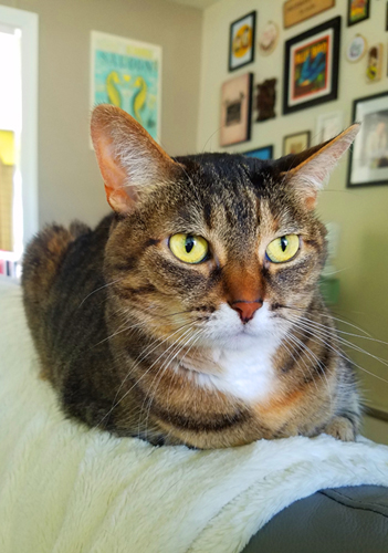 image of Sophie the Torbie Cat sitting on the back of the couch, looking lost in thought and vaguely annoyed