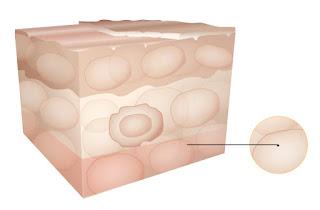 Hipoderme - Estrutura da Pele