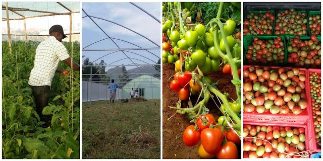 advantage of greenhouses in kenya farming, greenhouse cost of polythene in Kenya, greenhouse in Nairobi Kenya