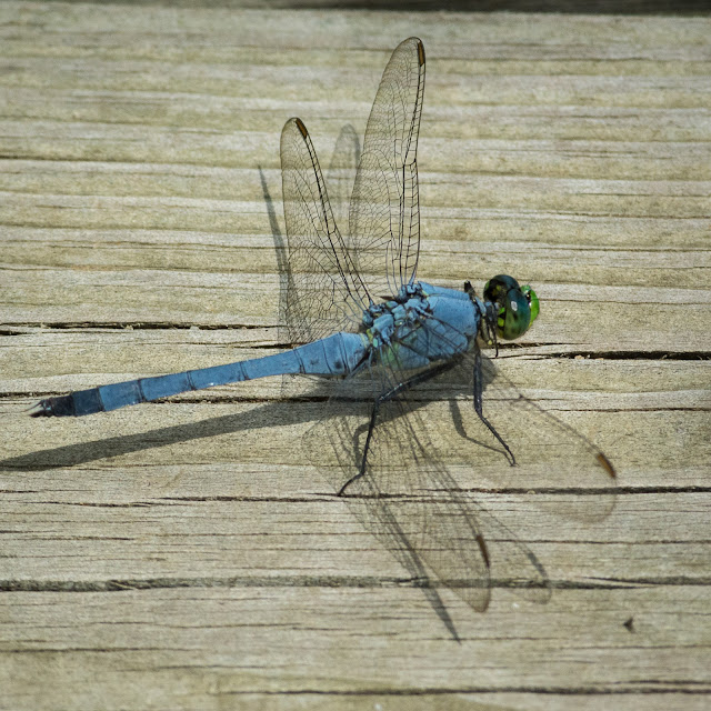Male Eastern Pondhawk, John Bunker Sands Wetland Center