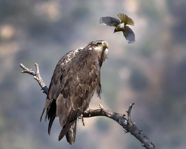 Птица Булока нападает на молодого Белого орлана, горы Сан-Габриэль, Калифорния, Америка