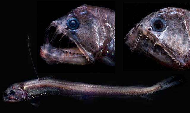 Pacific Viperfish hewan teraneh di dunia