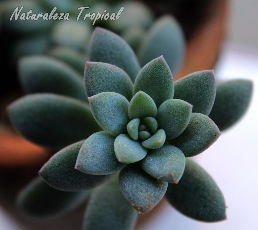 Planta del género Echeveria