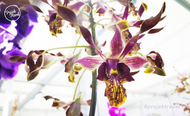 KENALI ORKID NAJIB ROSMAH | Dendrobium Najib Rosmah