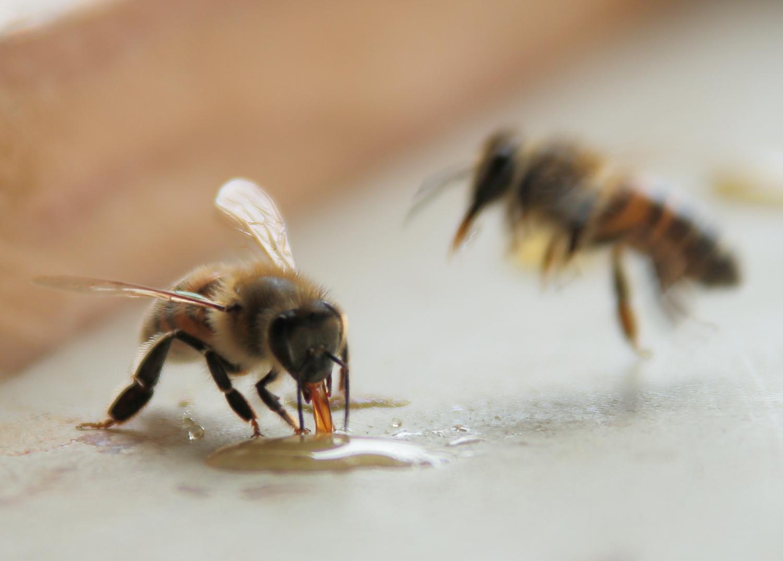 Passion apiculture le blog de l 39 abeille pat dans la for Abeilles dans la maison