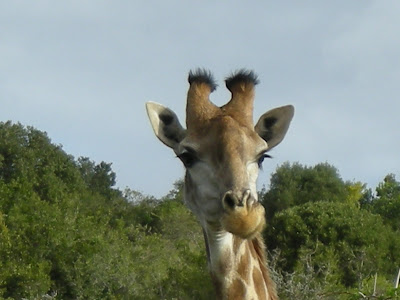 griraffe, Kruger National Park, South Africa, safari,