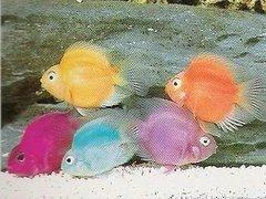 Cách nuôi cá hồng két (Huyết Anh Vũ)