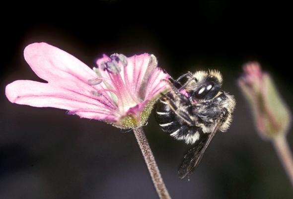 Osmia Avosetta Arıları