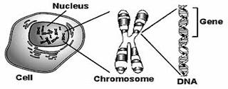 Gambar gen, DNA, dan kromosom yang terdapat pada inti sel