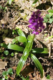 Orchis Mascula, Pays de Fontainebleau, (C) 2015 Greg Clouzeau