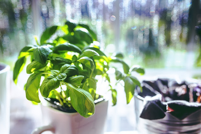 Benefits Of Tulsi, Holy Basil, Tulsi, Health Benefits Of Basil, Benefits Of Basil, Benefits Of Holy Basil, Health Benefits Of Tulsi, Basil, Benefits Of Basil Leaves