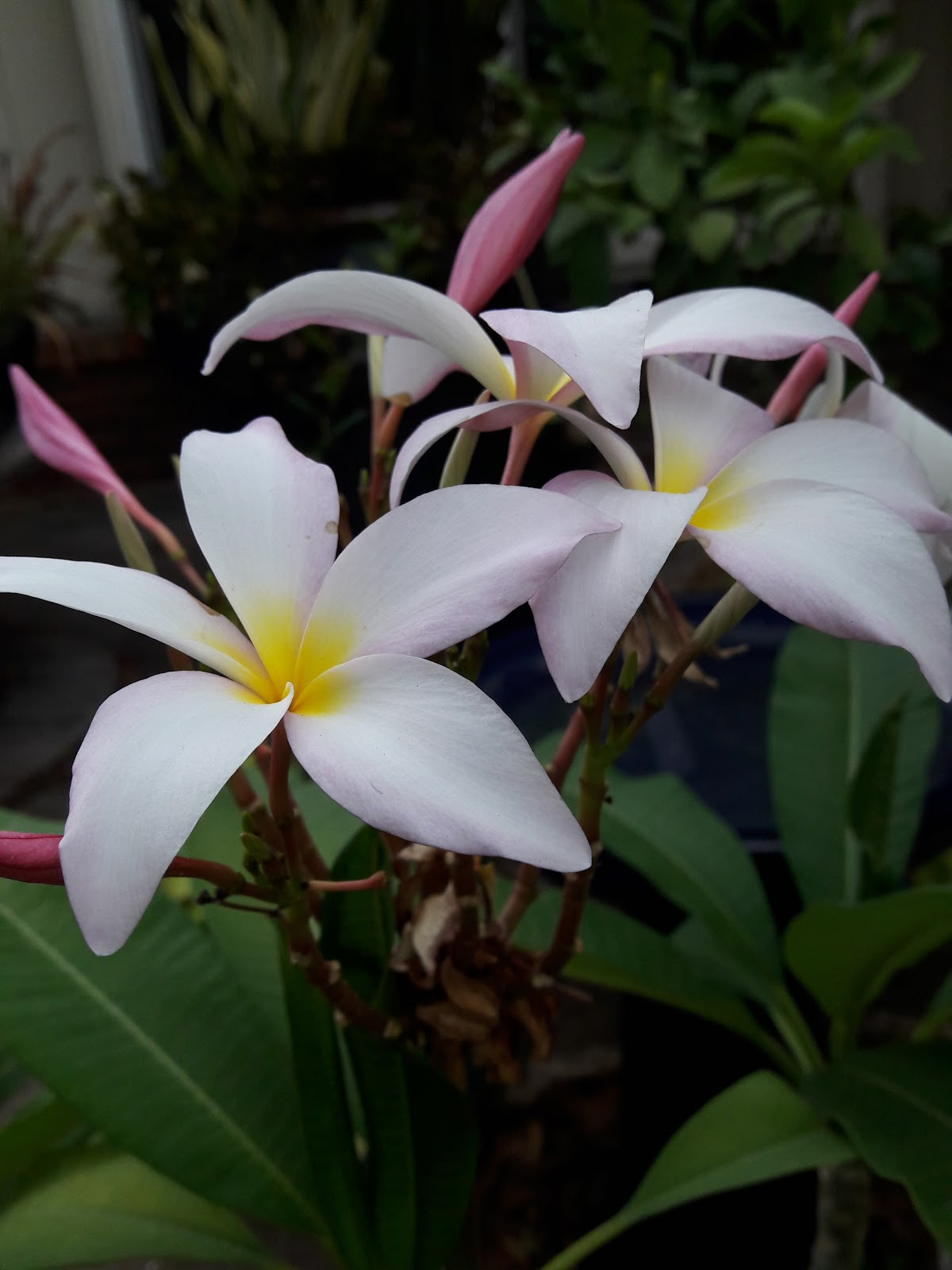 Garden bloggers bloom day august 2018 around the pool we really dont have many blooms the tropical garden is based around foliage but does have a few things the first is the pereskia izmirmasajfo