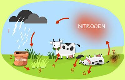 Daur Nitrogen : Tahapan, Proses, dan Ilustrasinya