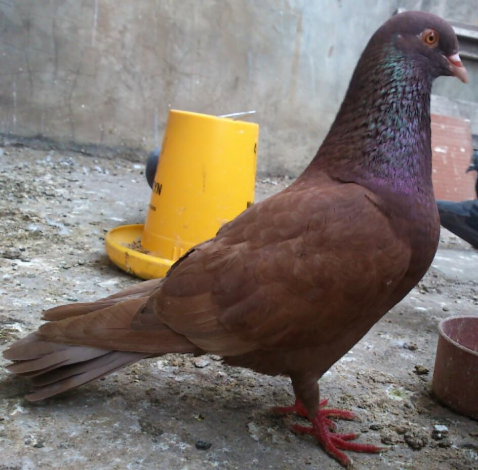 Download 45+  Gambar Burung Merpati Tritis HD Paling Keren