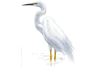 https://www.xeno-canto.org/sounds/uploaded/ZNCDXTUOFL/XC120152-Ardea_alba_Poland_Jarek_Matusiak_20110709-001.mp3