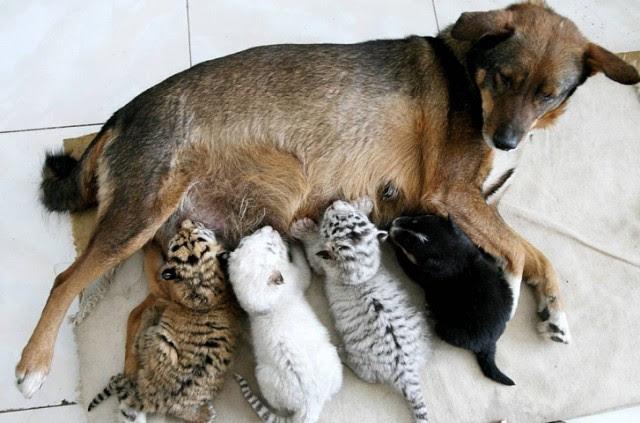 Чужих не бывает животные кормят чужих зверей собака и тигры