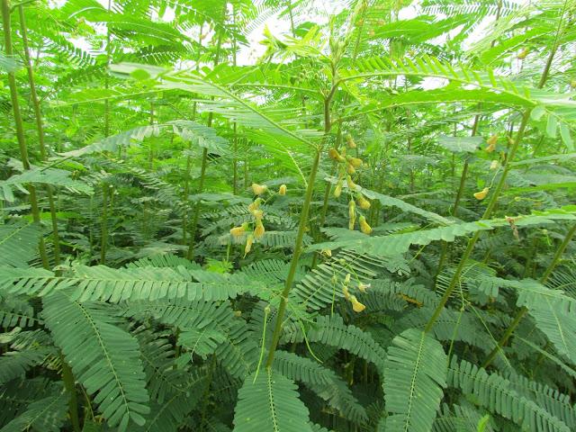 可樂穀紅藜農場內,高達220公分的田菁開花