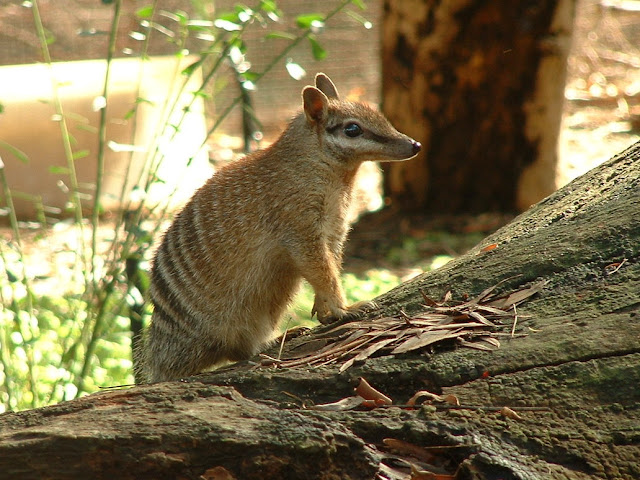 Do you know Numbat? See facts and information 7