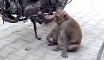 Monyet Haus Minum Bensin Sampai Mabuk Jadi Viral