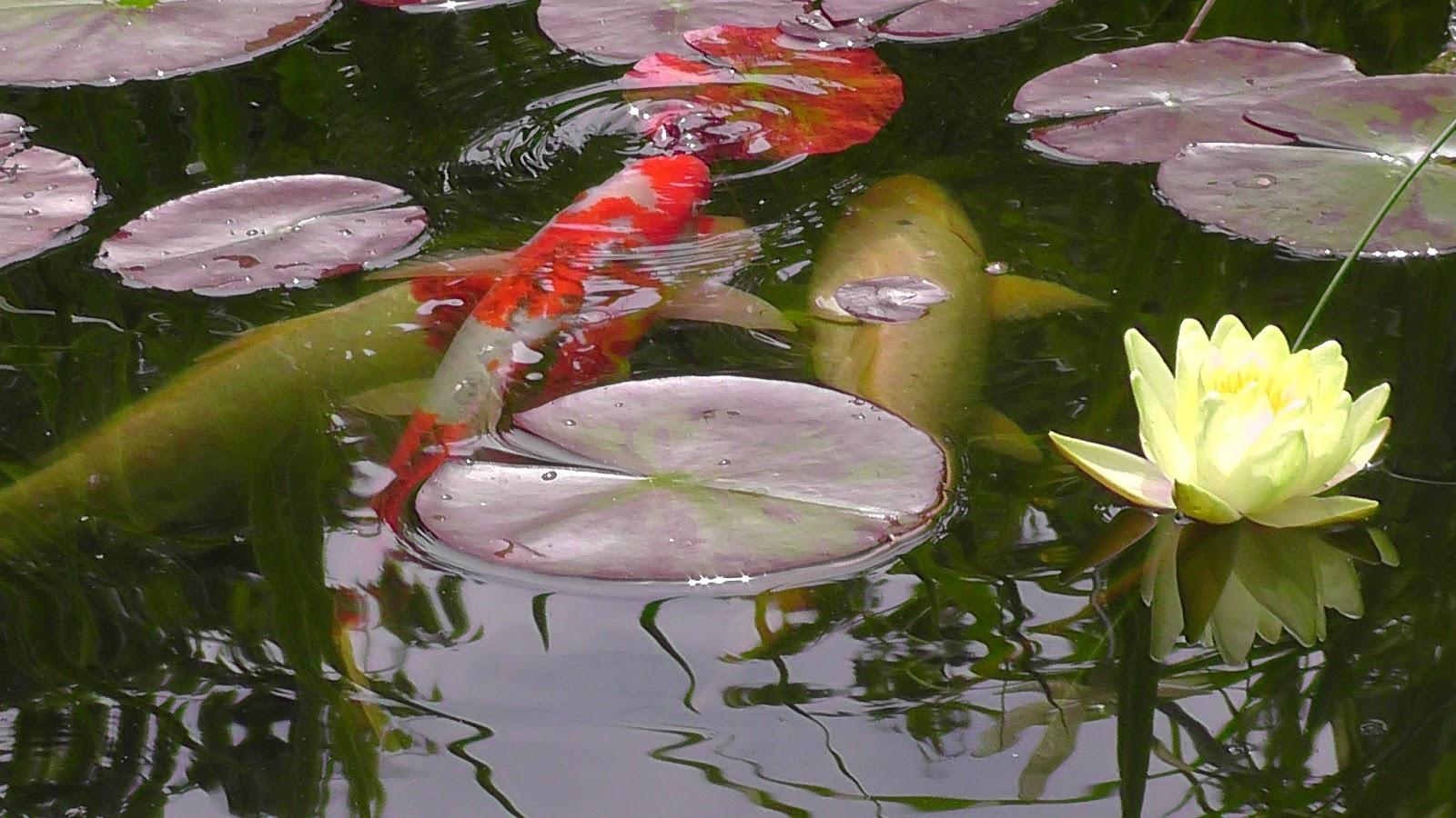 Julchens welt kois und goldfische bereichern meinen for Gartenteich goldfische