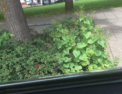 Alliaria petiolata Knoblauchsrauke durch das Taxifenster am Standplatz Isartor