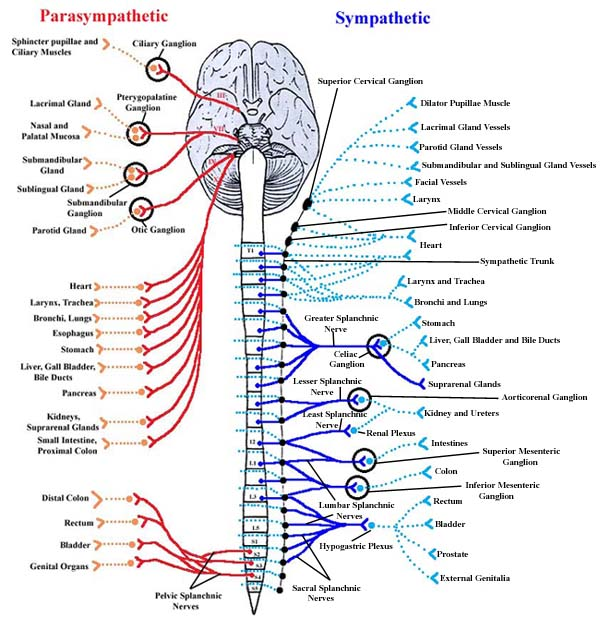 autonomic nervous system, nervous system of animals