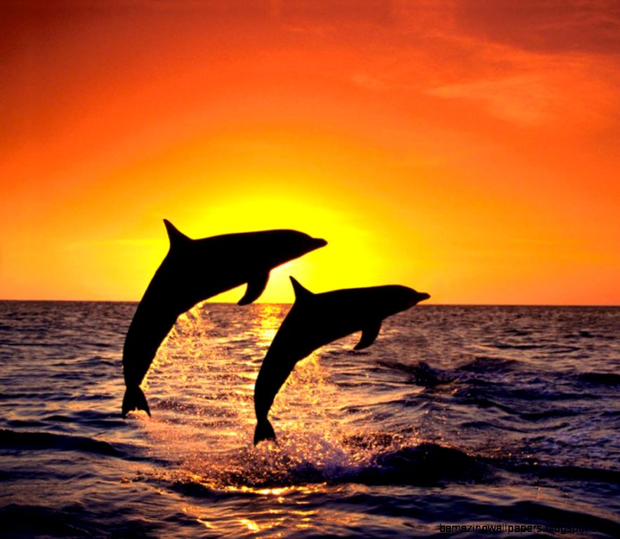 Dolphin Sunset Wallpaper | Amazing Wallpapers