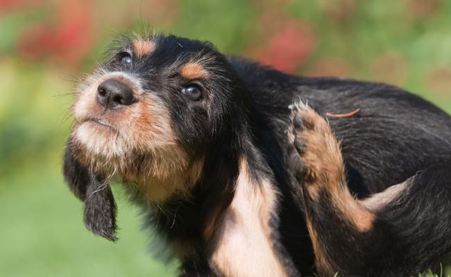 Psie alergie - objawy i sposoby leczenia