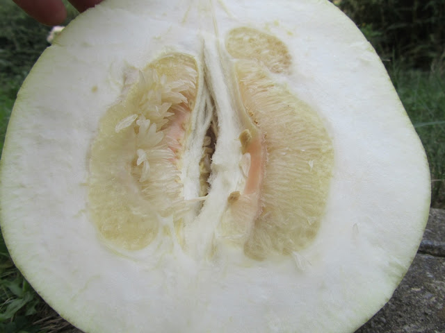 Frutto Pomelo Aperto