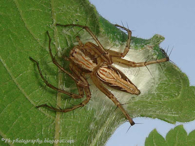 Spider With Egg Sac
