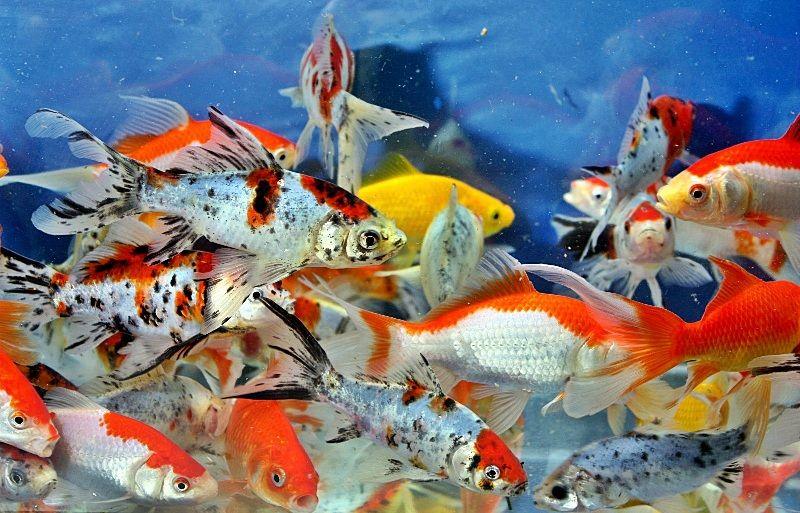 cara budidaya ikan air tawar cepat panen