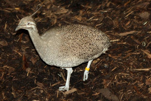 Crested Tinamou