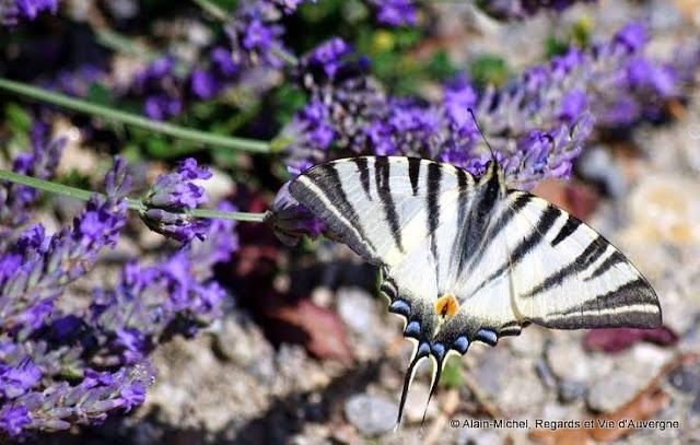 papillon : Le Flambé