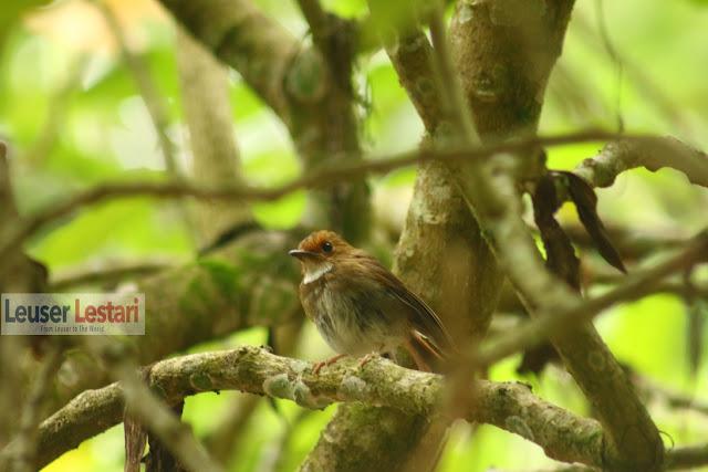 Keanekaragaman Hayati Hutan Leuser, Aceh, Indonesia