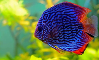 Gambar harga ikan hias discus termahal di indonesia