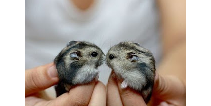Winter White And Campbell Dwarf Hamsters: How Do You Tell Them Apart