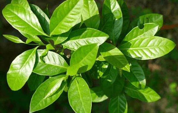 Manfaat daun Salam untuk kesehatan dan kecantikan