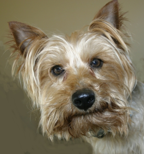 Ziggy, our new adopted Silky Terrier!