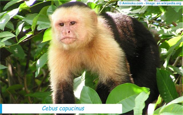 Fakta unik tentang monyet kapuchin