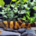 Royal Clown Loach