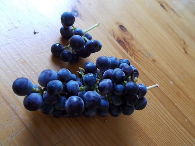 Viinirypäleiden kasvatus