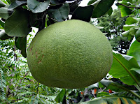 Florida Pomelo 32 Weeks pregnant