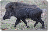 Are boar bristles cruelty free