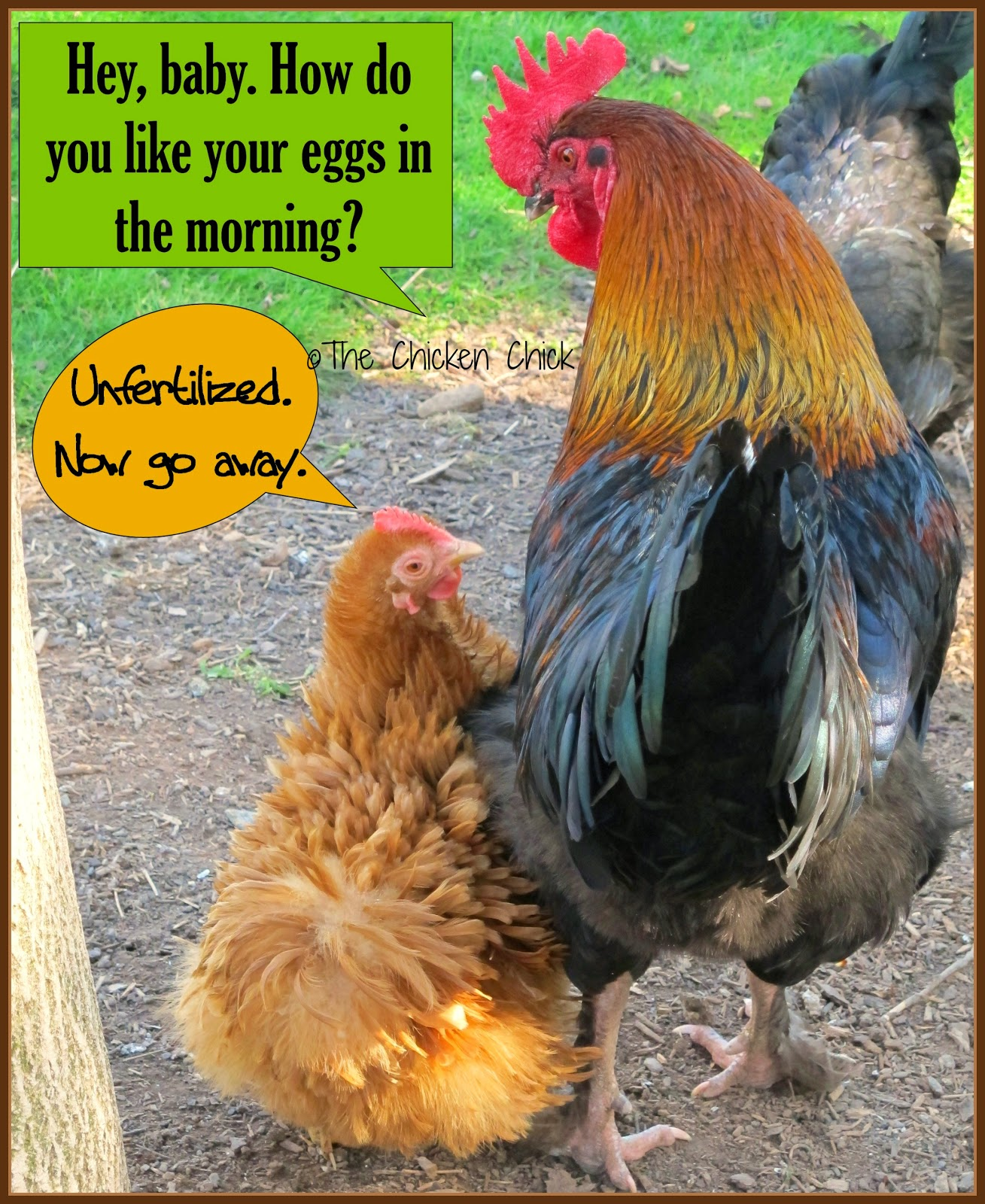 A hen does not need a rooster to produce an egg.