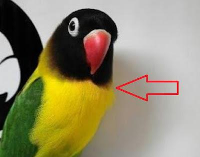 lovebird dacori