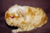 Świnka morska rasy merino satin w umaszczeniu saffron-white p.e.