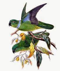 Lorito acollarado: Geoffroyus simplex