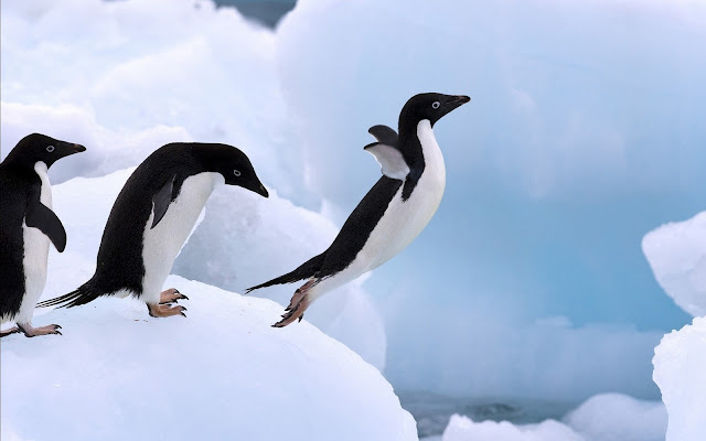 penguin pictures  images wallpaper