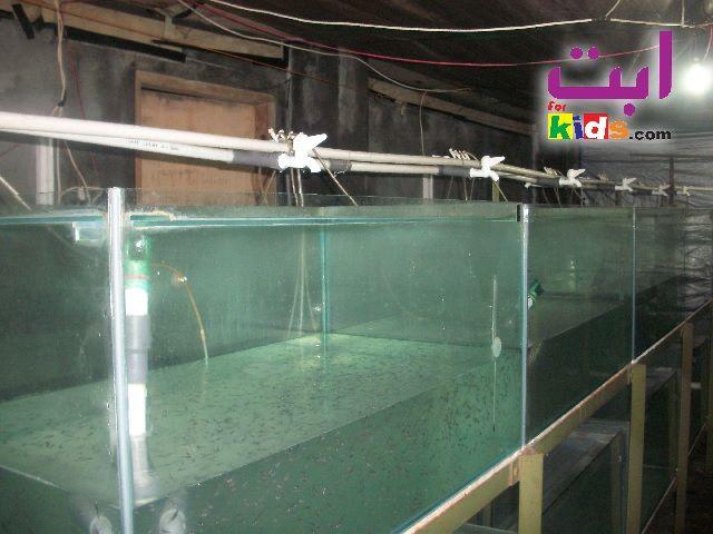 Syarat Pembenihan Ikan Patin - Tempat Pemeliharaan Benih